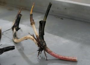 Lotos-rhizom pflanzen