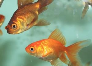 Teichfische Shubunkins