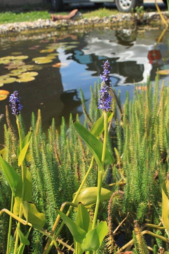 Teichpflanzen kaufen in dodendorf in der n he von magdeburg for Balkon teich fische