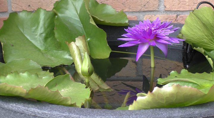 Eine violette tropische Seerose in einem Kübel