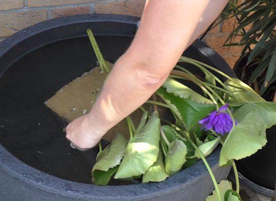der Pflanzkorb mit der Seerose wird langsam in das Wasser abgesenkt
